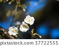 white plum blossoms, spring, bloom 37722555
