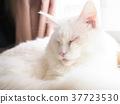 แมว,แมวขาว,หลับ 37723530