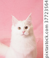 สัตว์,ภาพวาดมือ สัตว์,แมว 37723564