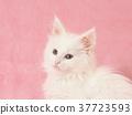 小貓 貓咪 貓 37723593