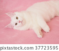 小猫 猫咪 猫 37723595