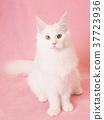 สัตว์,ภาพวาดมือ สัตว์,แมว 37723936