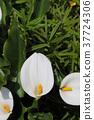 馬蹄蓮 天南星 植物 37724306