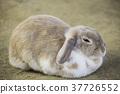 동물, 토끼, 부드럽고 37726552