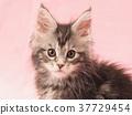 kitty pussy Maine 37729454