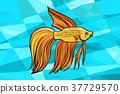 Cockerel aquarium fish 37729570