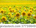 ดอกทานตะวัน 37730649