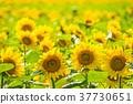 ดอกทานตะวัน 37730651