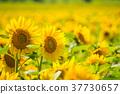 ดอกทานตะวัน 37730657