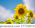 ดอกทานตะวัน 37730659