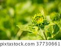 向日葵 蓓蕾 植物 37730661