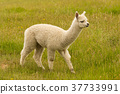 Very cute baby alpaca with green glass 37733991