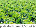 양배추 밭, 양배추, 밭 37735437