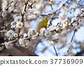 white plum blossoms, bloom, blossom 37736909