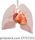 人體標本內臟圖像心臟燙髮3DCG插圖素材 37737251
