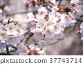 cherry blossom, cherry tree, bloom 37743714