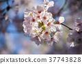 cherry blossom, cherry tree, bloom 37743828