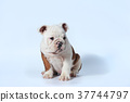 purebred English Bulldog puppy action on white 37744797
