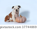 purebred English Bulldog puppy action on white  37744869