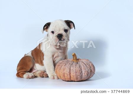 purebred English Bulldog puppy action on white  37744869