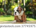 English Bulldog in Natural green 37745975