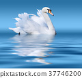 White swan on lake surface 37746200
