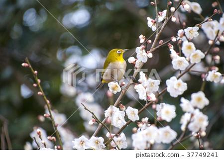 Mejiro and plum blossoms 37749241