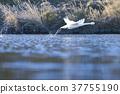 天鵝 鳥兒 鳥 37755190