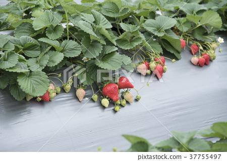 草莓觀光農場 37755497