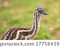 baby, emu, face 37756439