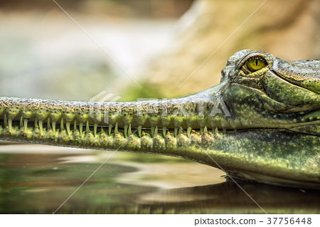 Gharial, also knows as the gavial 37756448