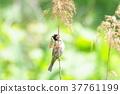 野生鳥類 野鳥 麻雀 37761199