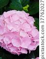 Hydrangea flower (Hydrangea macrophylla) 37762027