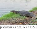 จิ้งจก,สัตว์เลื้อยคลาน,อิกัวนา 37771153