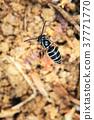 Black hornet 37771770