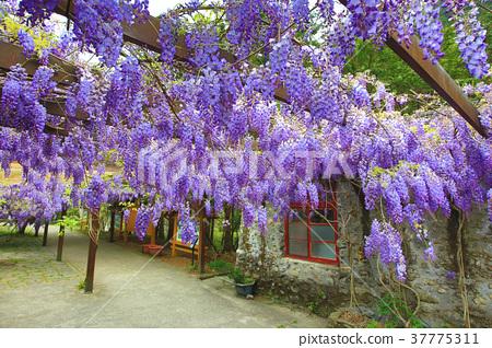 綻放的紫藤花 37775311