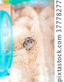 Djangarian倉鼠的圖像 37778277