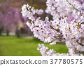 cherry blossom, cherry tree, full bloom 37780575