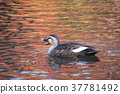 duck, maple, yellow 37781492