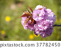 double-flowered cherry tree, spring, bloom 37782450