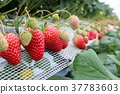 strawberries, strawberry, strawberry picking 37783603