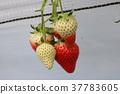 strawberries, strawberry, strawberry picking 37783605