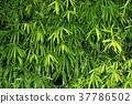Bamboo leaf background 37786502