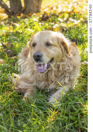 old golden retriever dog 37788540