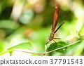 蜻蜓 米亞卡瓦酒店 米亞豆娘 37791543