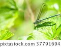 蜻蜓 豆娘 昆蟲 37791694