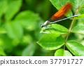 蜻蜓 豆娘 昆虫 37791727