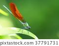 蜻蜓 豆娘 昆虫 37791731