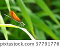 蜻蜓 豆娘 雄性 37791776
