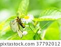蝴蝶 日本雲阿波羅 冰川阿波羅 37792012